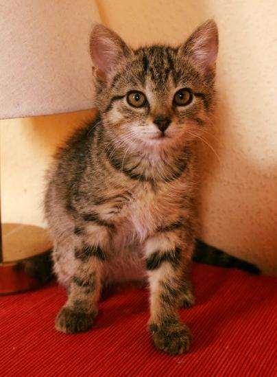 kleine getiegerte Katze sitzt auf einer roten Decke