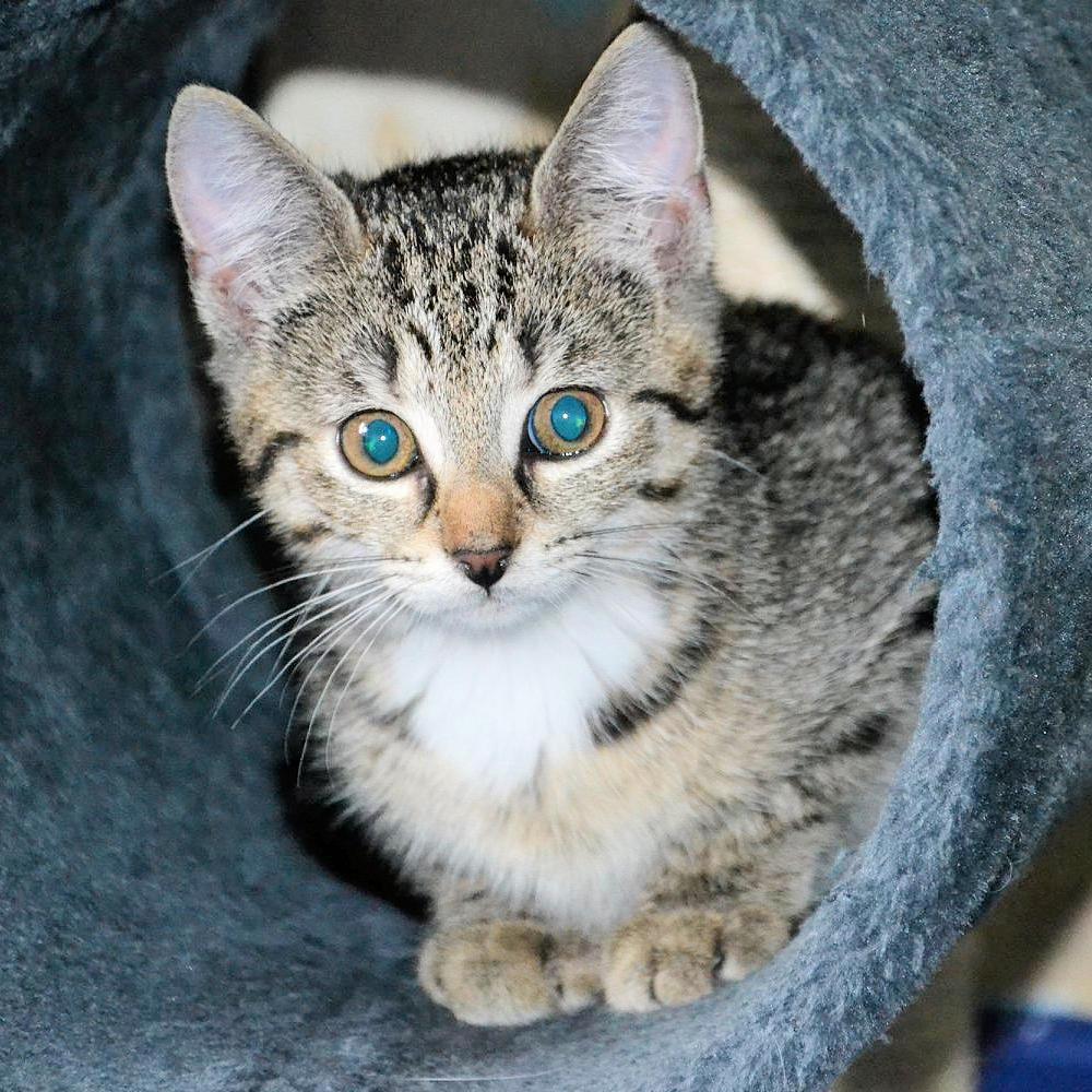 kleine getiegerte Katze schaut aus einer Katzenhöhle