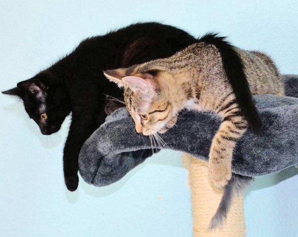 zwei kleine Katzen schauen von einem Kratzbaum herunter