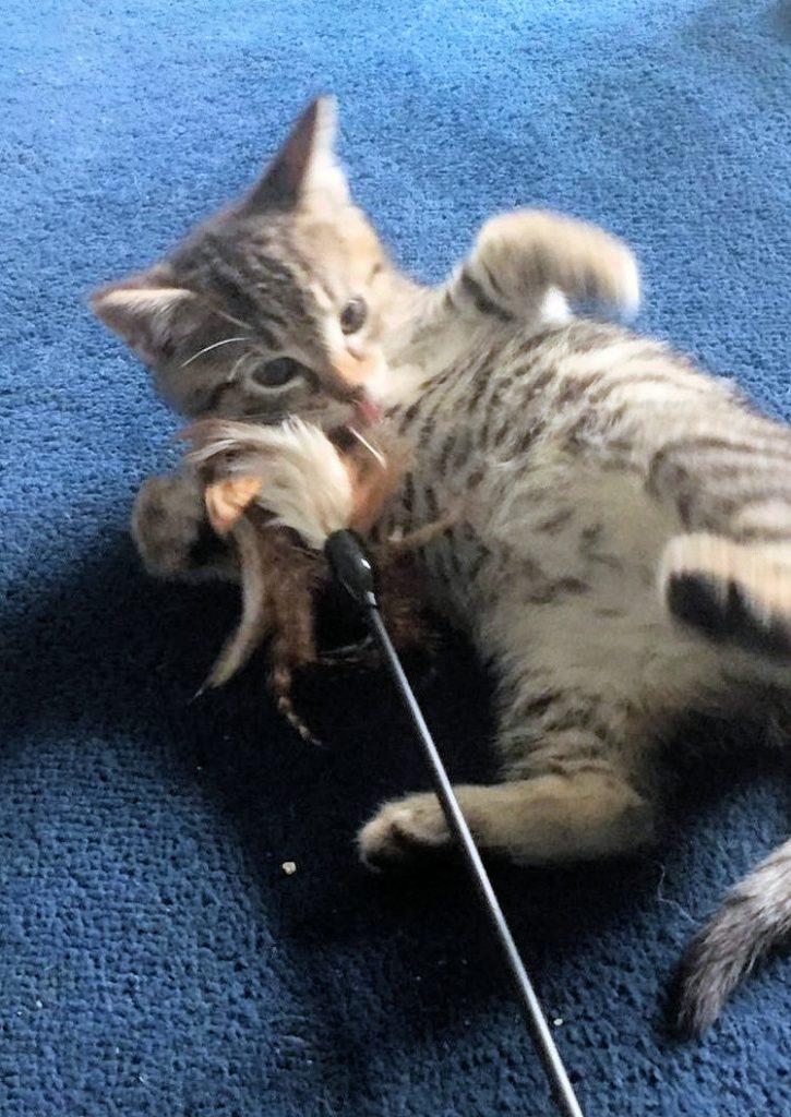 kleine getiegerte Katze, liegt auf dem Rücken und greift nach einem Spielzeug