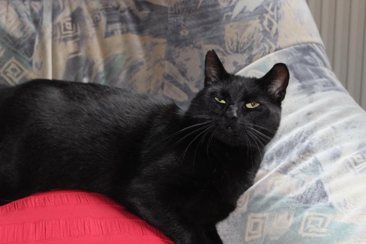 schwarzer Kater liegt in einem Sessel
