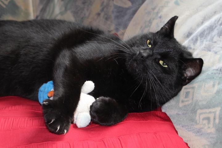 schwarzer Kater liegt mit einem Spielzeug auf einer roten Decke in einem Sessel