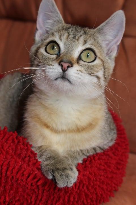 Kopfbild einer kleinen getigerten Katze, schaut neugierig mit großen Augen nach oben