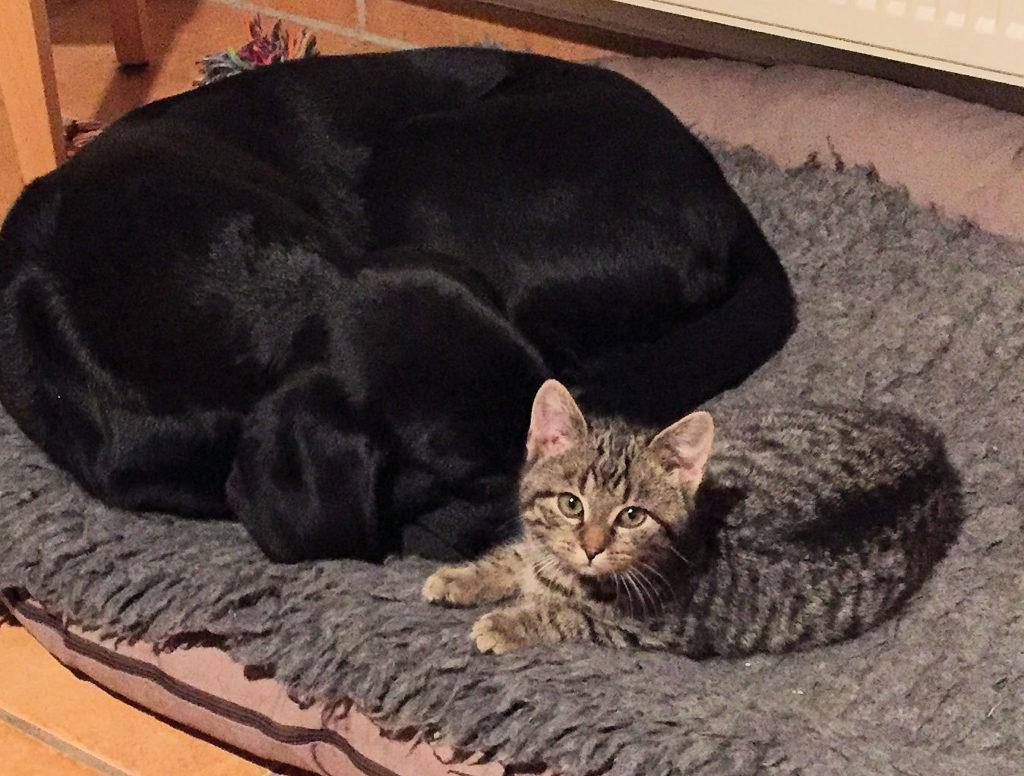 kleiner getigerter Kater mit einem schwarzen Hund auf einem Hundebett
