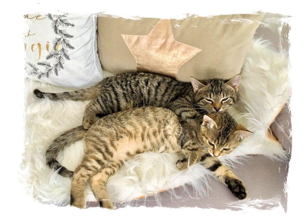 zwei kleine getigerte Katzen liegen dicht aneinander auf einem Kissen