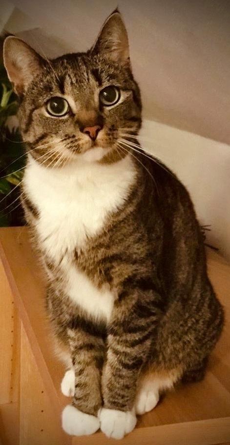getigerte Katze mit weißer Brust und weißen Pfoten sitzt auf einem Schrank und schaut neugierig in die Kamera