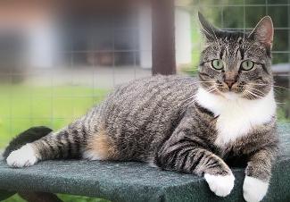 getigerte Katze mit weißer Brust und weißen Pfoten liegt im Garten, auf einer grauen Unterlage, schaut in die Kamera