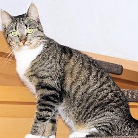 getigerte Katze mit weißer Brust und weißen Pfoten sitzt auf einer Holztreppe, schaut in die Kamera