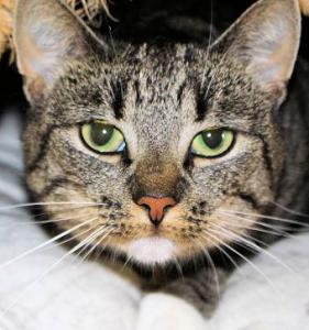 Gesicht einer getigerten Katze mit weißem Fleck am Kinn, Nahaufnahme