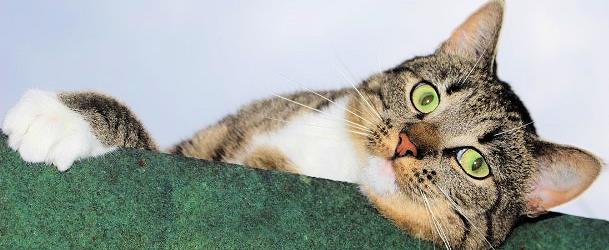 Kopf und weiße Pfote einer getigerten Katze über dem Rand einer grünen Decke
