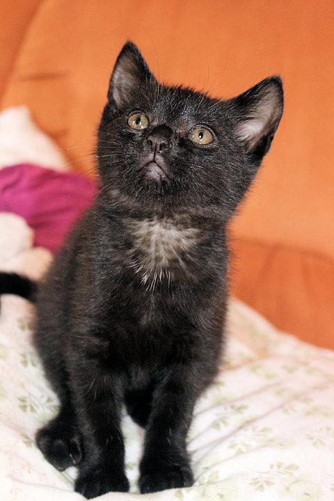 kleiner schwarzer Kater sitzt auf einem hellen Kissen, schaut nach oben