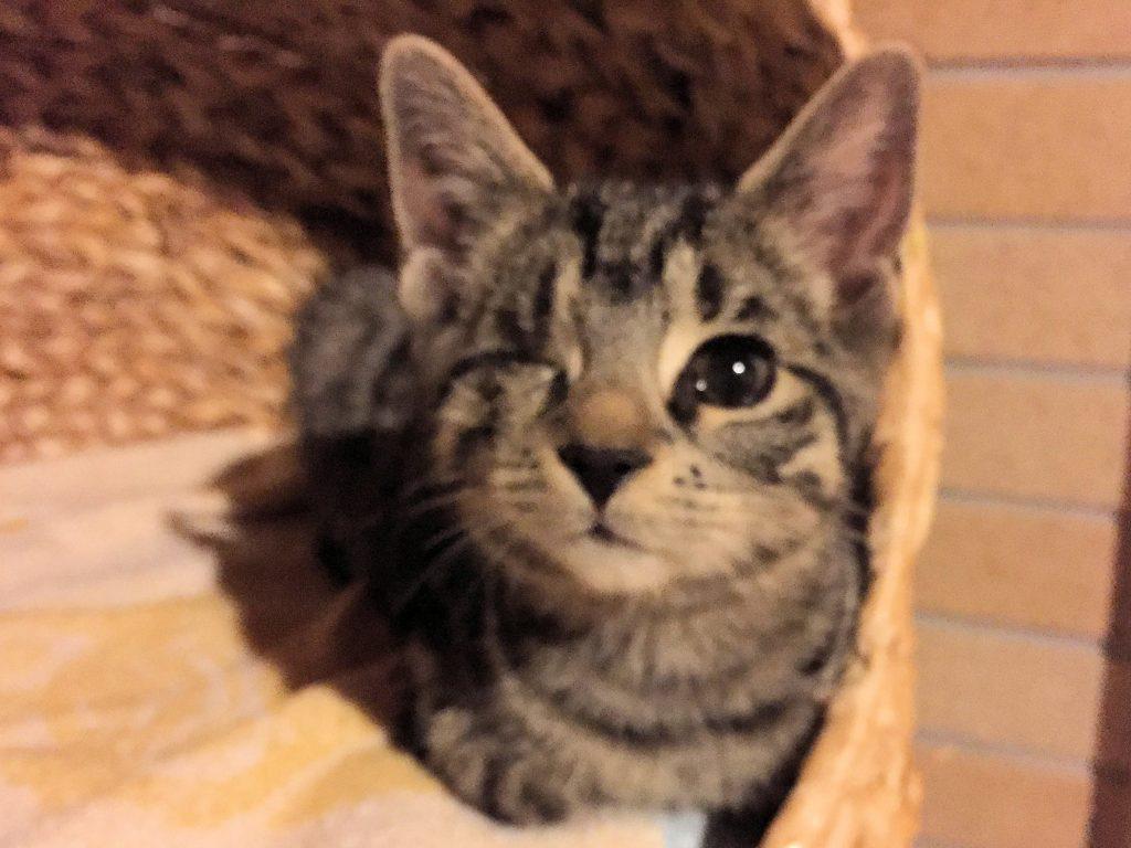 kleine getigerte Katze schaut neugierig aus einem Korb