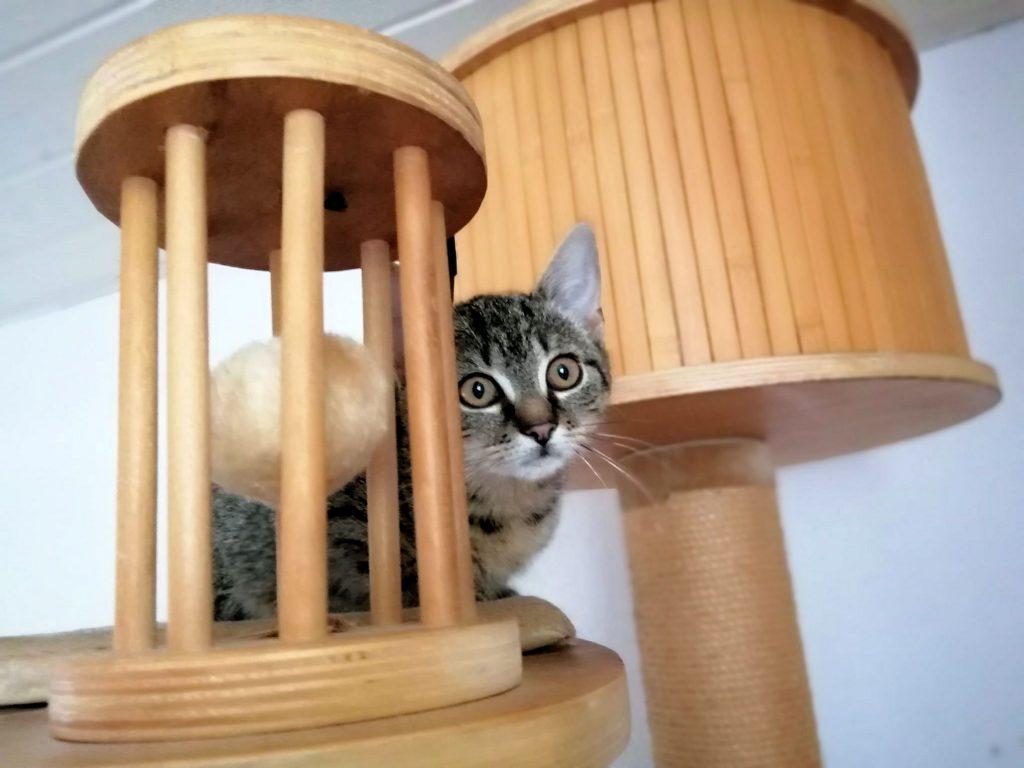 kleine getigerte Katze schaut hiter dem Holzaufbau eines Kratzbaumes hervor
