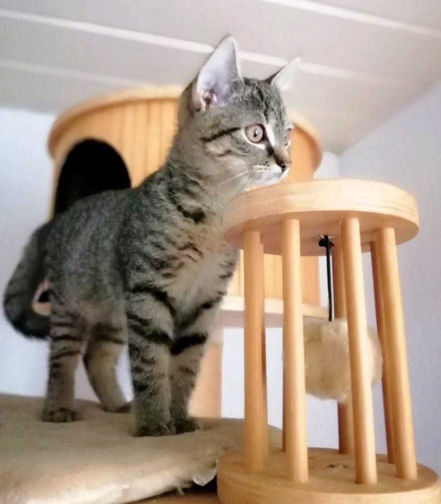 kleine getigerte Katze auf einem Kratzbaum, Seitenansicht