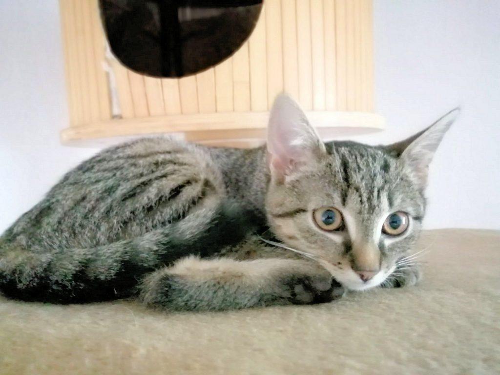 kleine getigerte Katze liegt auf der Liegefläche eines Kratzbaumes, schaut in die Kamera