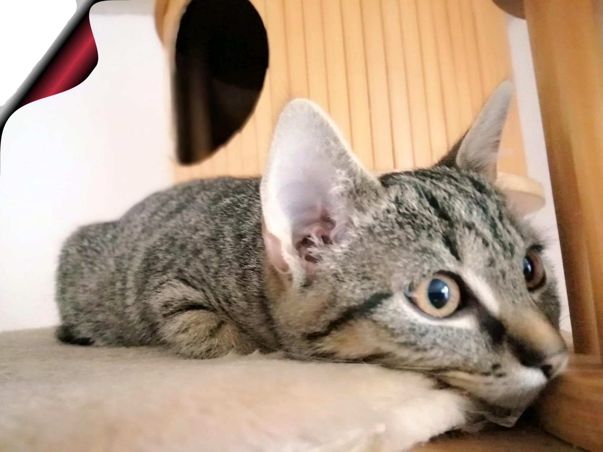 kleine getigerte Katze liegt auf der Liegefläche eines Kratzbaumes, schaut in die Kamera, Nahaufnahme