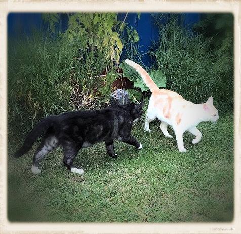 eine schwarz-weiße und eine weiß-rote Katze erkunden einen Garten