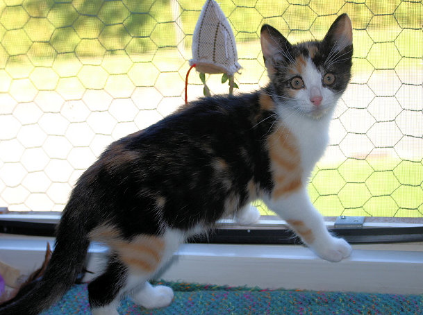 kleine dreifarbige Katze steht auf einer Fensterbank