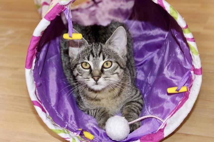 kleine getigerte Katze schaut aus einem Spieltunnel