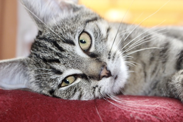 kleine getigerte Katze liegt auf einer roten Decke in Seitenlage und schaut in die Kamera, Nahaufnahme