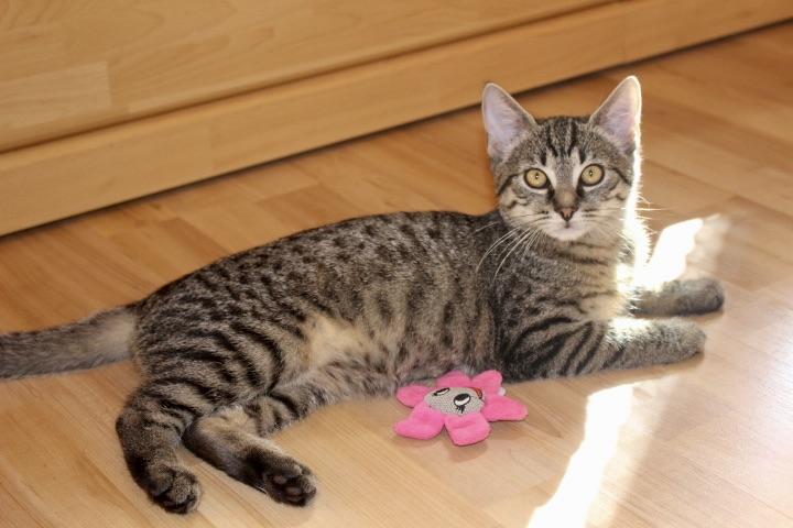 kleine getigerte Katze liegt auf dem Fussboden in der Sonne, mit Spielzeug