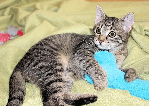 kleine getigerte Katze liegt auf einer günen Decke, mit Spielzeug