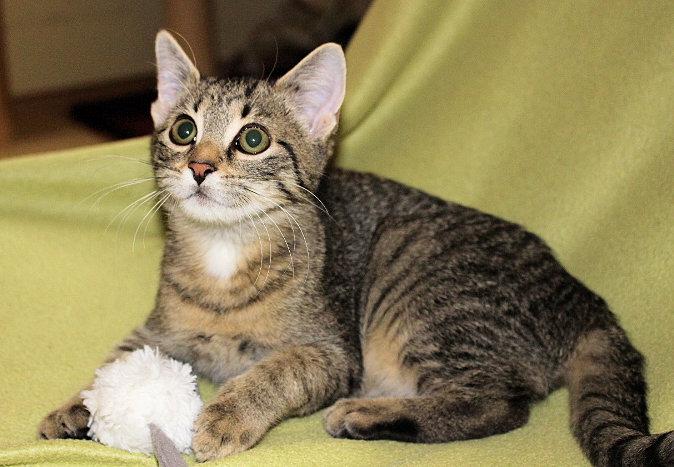 kleine getigerte Katze liegt auf einer grünen Decke, schaut neugierig nach oben