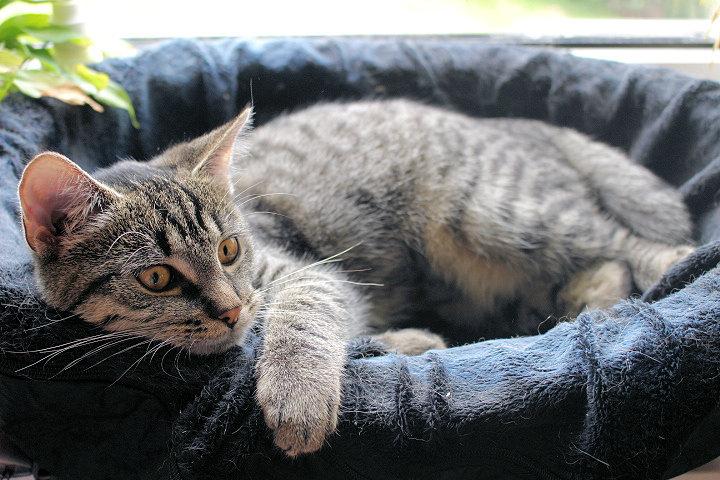 kleine getigerte Katze schaut über den Rand eines Katzennestes