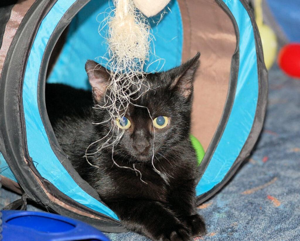 eine kleine schwarze Katze schaut aus einem Katzentunnel