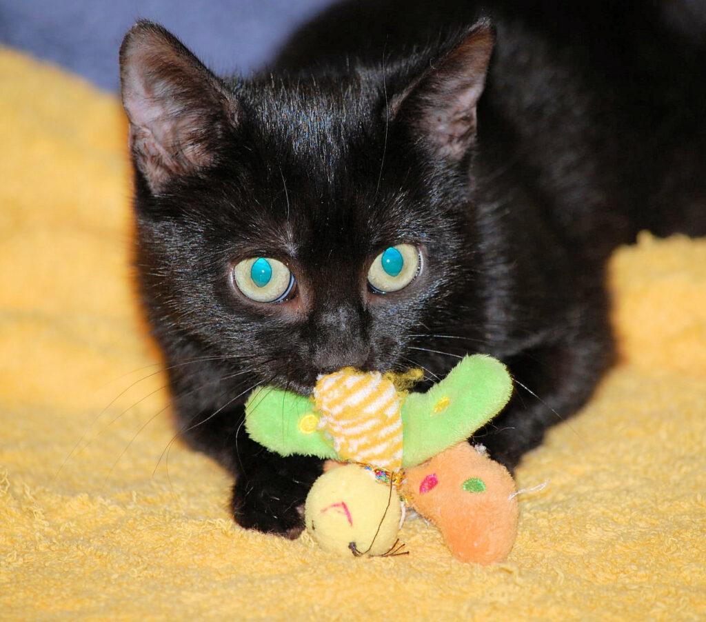 eine kleine schwarze Katze liegt auf einer gelben Decke, mit Spielzeug