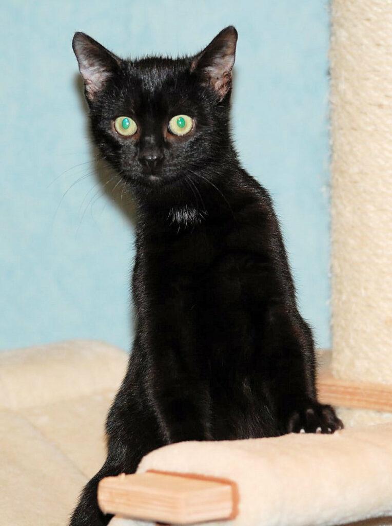 kleine schwarze Katze sitzt aufrecht auf der Sitzfläche eines Kratzbaumes