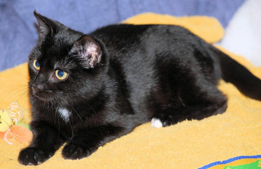 eine kleine schwarze Katze liegt auf einer gelben Decke