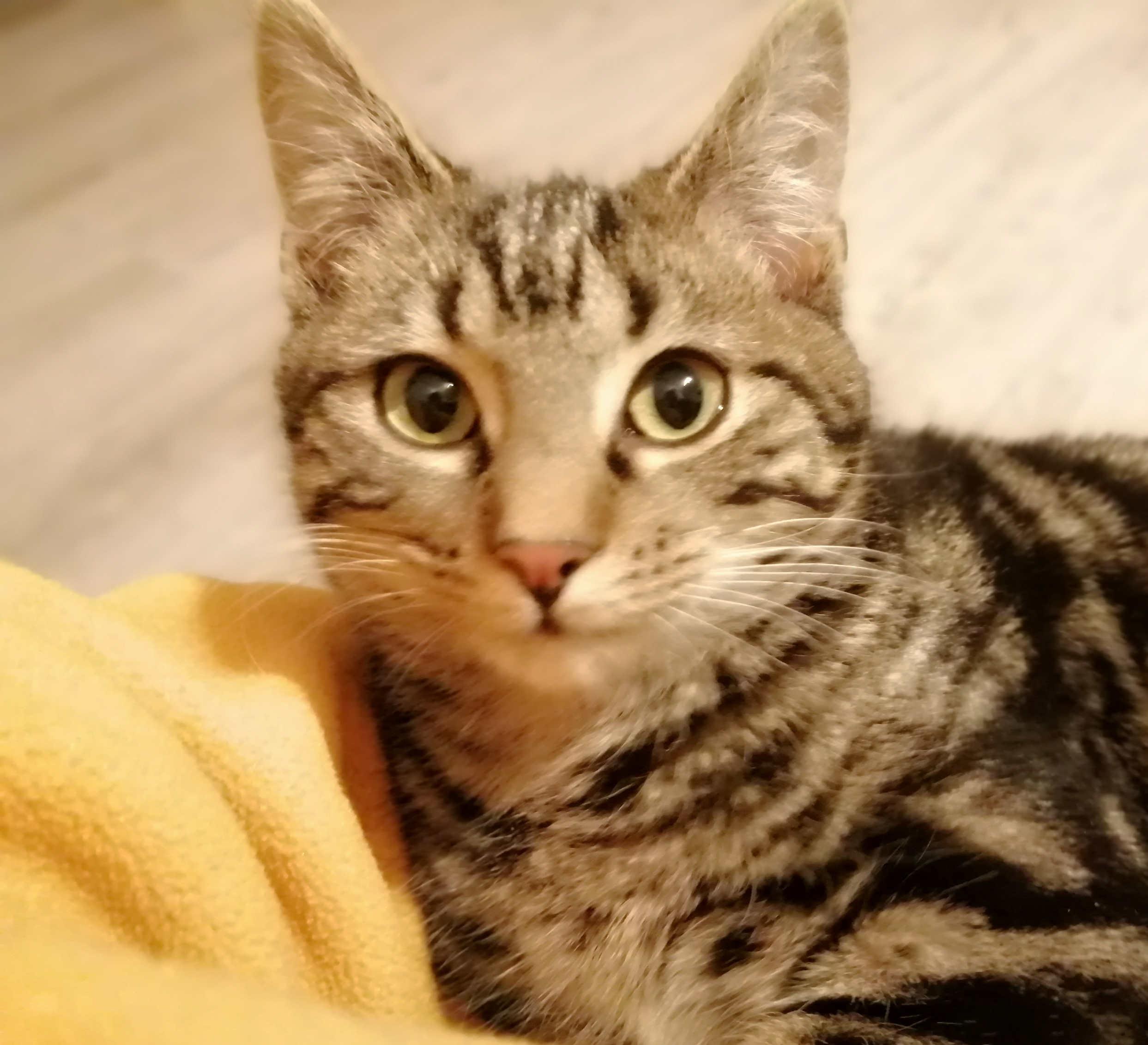 kleiner Tabby-Kater liegt auf einer gelben Decke, schaut mit großen Augen in die Kamera