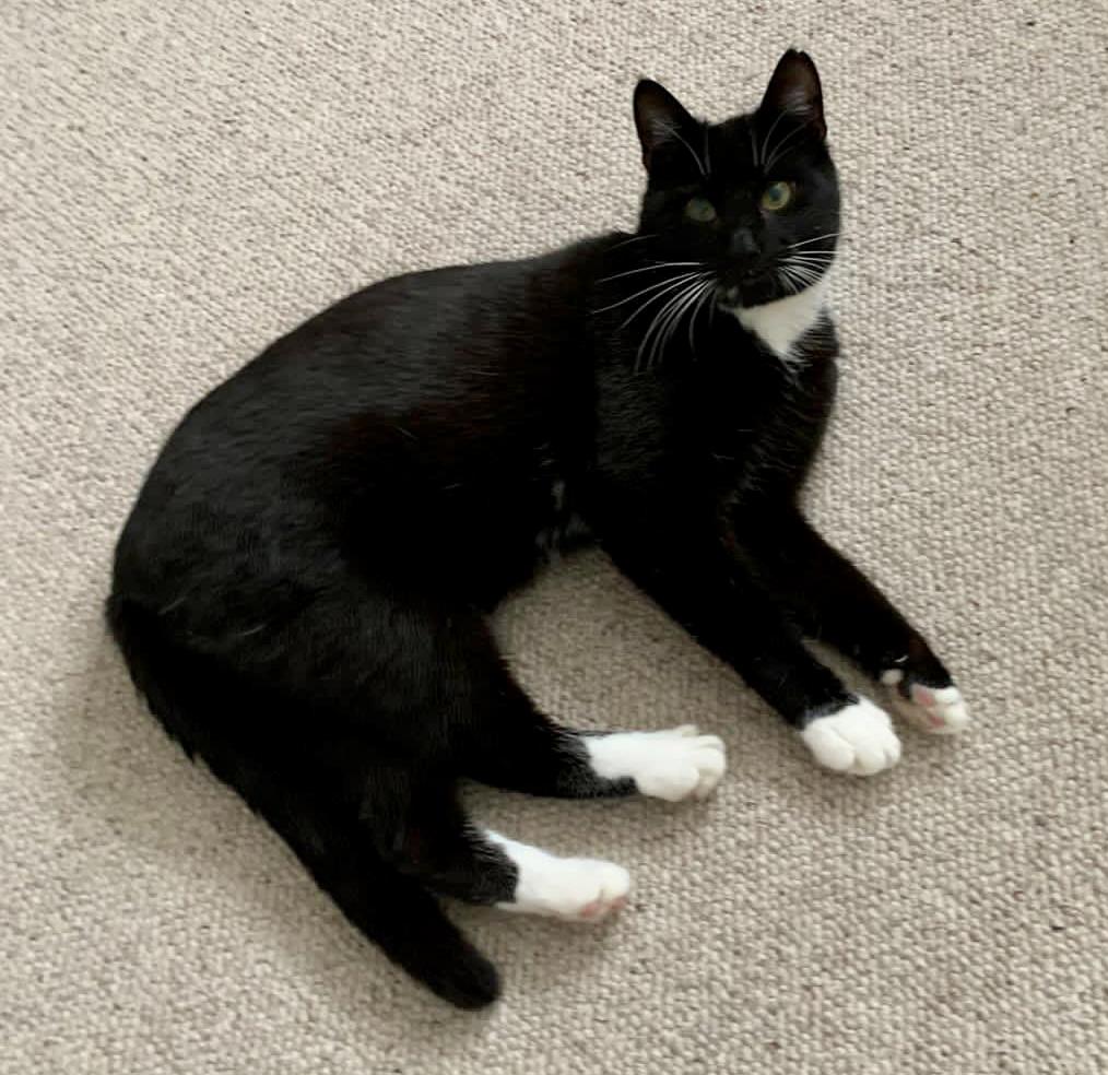 schwarzer Kater mit weißen Pfoten und weißem Latz liegt auf einem Teppichboden