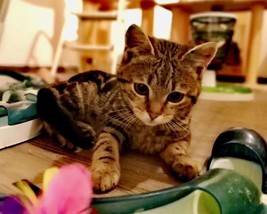 kleine getigerte Katze liegt vor einem Spielzeug