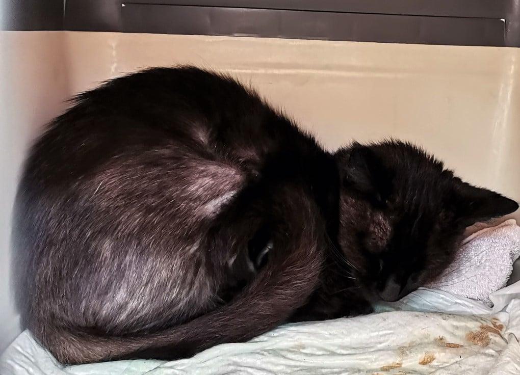 eine kleine schwarze Katze liegt zusammengerollt in einer Transportbox