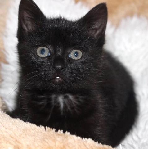 Nahaufnahme einer kleinen schwarzen Katze, sitzt auf einem weißen Fell und schaut mit großen Augen in die Kamera