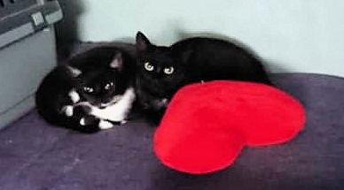 Eine schwarze und eine schwarz-weiße Katze sitzen neben einem roten herzförmigen Kissen