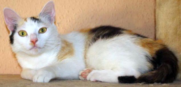 dreifarbige Katze, liegend, schaut in die Kamera