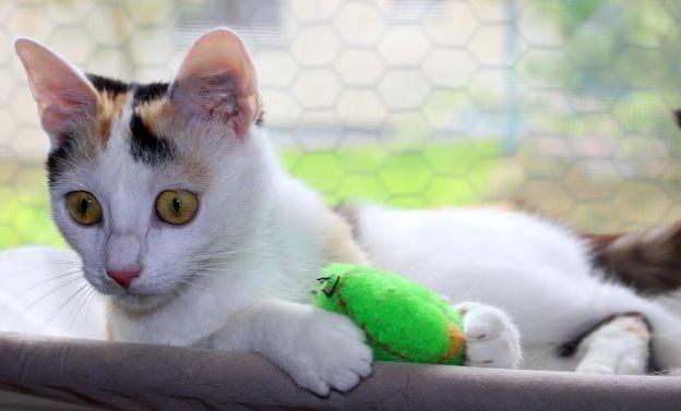 dreifarbige Katze liegt auf einer Fensterbank, mit einem Spielzeug