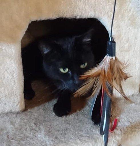 eine schwarze Katze schaut aus einem Katzenhaus nach einem Spielzeugfederbusch