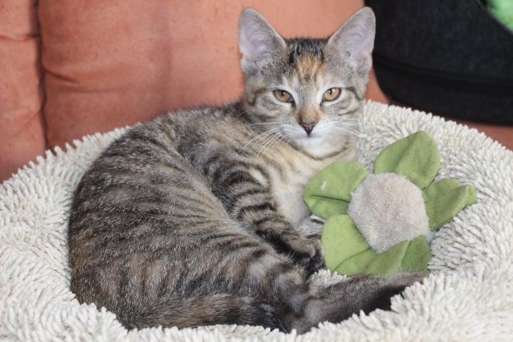 kleine getigerte Katze in einem Katzenkissen, mit Spielzeug