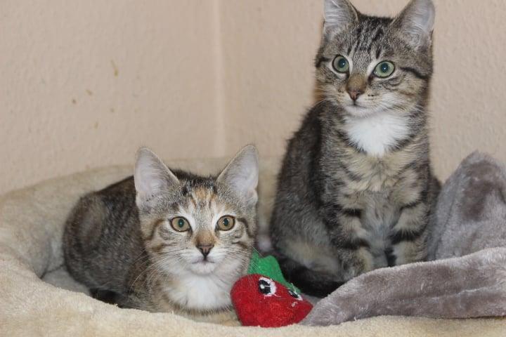 zwei kleine getigerte Katzen auf einem Katzenkissen
