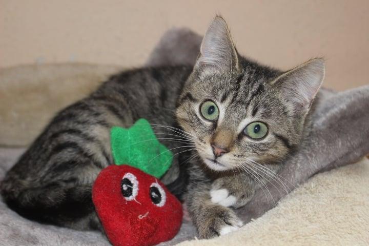 kleine getigerte Katze mit einer roten Plüscherdbeere