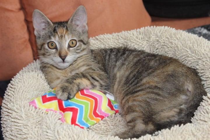 kleine getigerte Katze auf einem Katzenbett