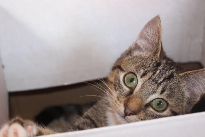 Kopf einer getigerten Katze, schaut über den Rand einer Kiste