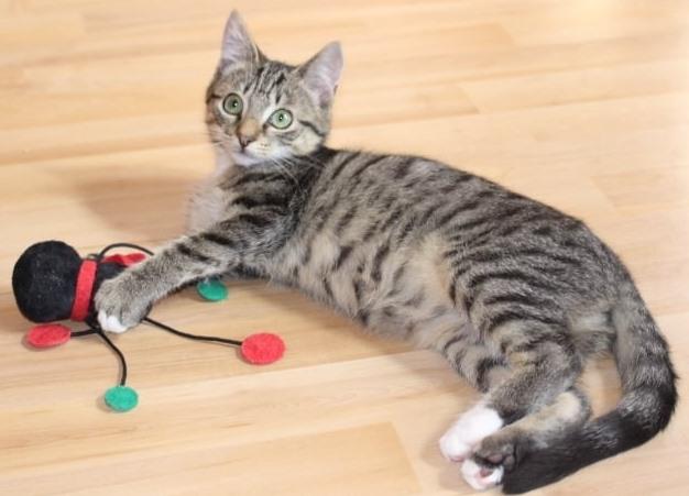 eine kleine getigerte Katze liegt mit einem Spielzeug auf dem Fußboden