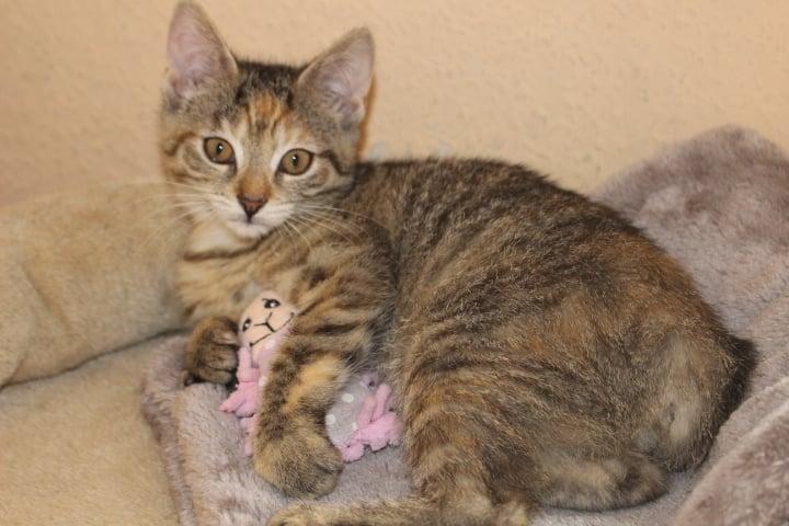 kleine getigerte Katze auf einem Katzenkissen