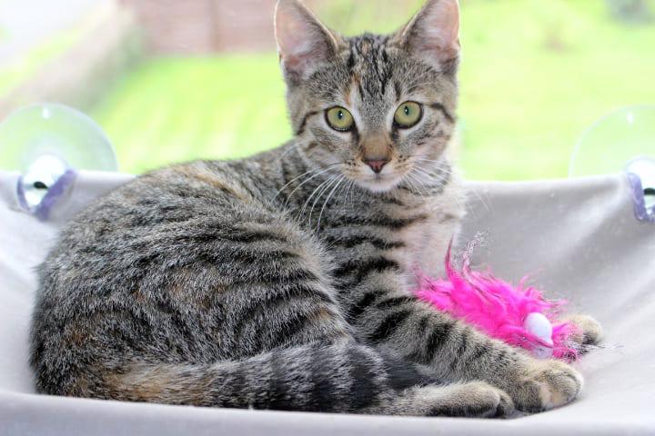 kleine getigerte Katze liegt in einer Hängematte vor dem Fenster, mit einem Federspielzeug