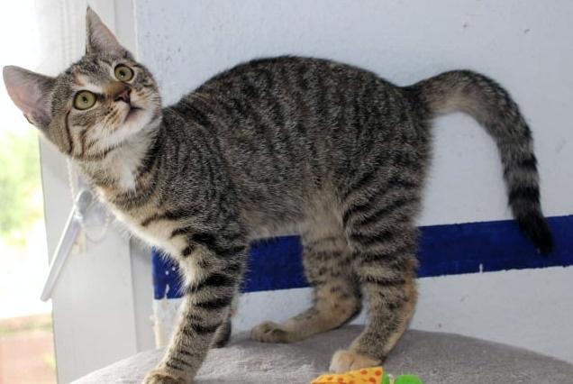 kleine getigerte Katze steht auf einem Polster, schaut neugierig nach oben